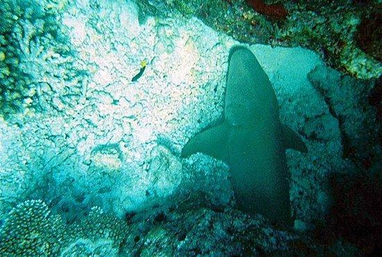 Baros Maldives: nurse shark