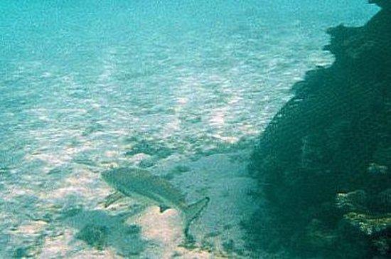 Baros Maldives: Black tip shark with no dorsal fin