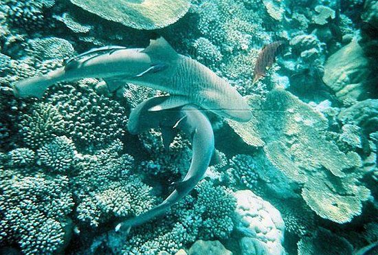 Baros Maldives: black and white tip sharks