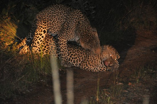 Leopard Hills Private Game Reserve : Evening Game Drive