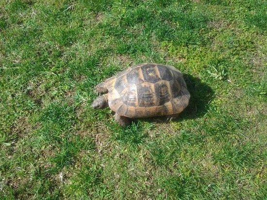 Limak Arcadia Golf & Sport Resort : de schildpadden lopen vrij rond