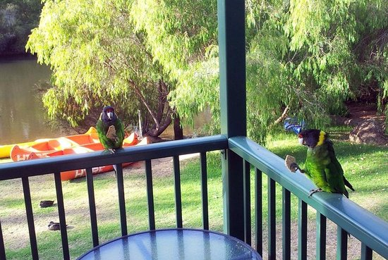 Riverview Tourist Park : Parrots come to visit on the veranda of our chalet