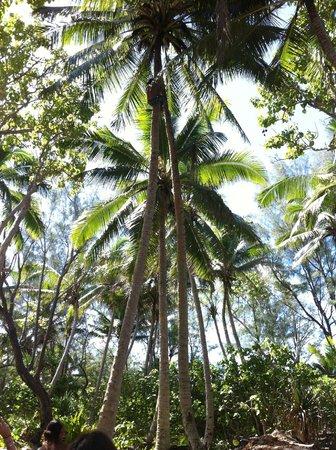 The Rarotongan Beach Resort & Spa : Boy climbing a coconut tree (Captain Tama's glass-bottom boat)