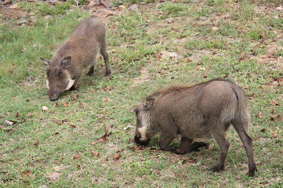 Chisomo Safari Camp: Wildlife hautnah - Warzenschweine im Camp