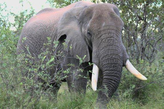 Chisomo Safari Camp: Wildlife hautnah - Elefanten