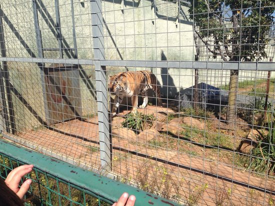 Lory Park: Siberian Tiger after feeding. What a fantastic place to spent with the kids!!! They enjoy it eve