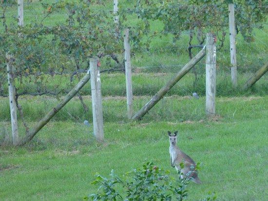 Silos Estate : Kangaroos amongst the vines!