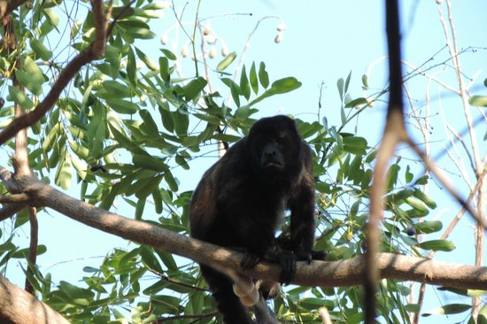 Paradiso Hostel: howler monkeys on the road