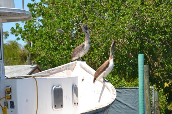 Everglades City Airboat Tours: Pelicans