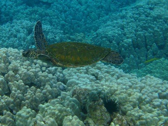 Kona Seaspray: Turtle snorkeling