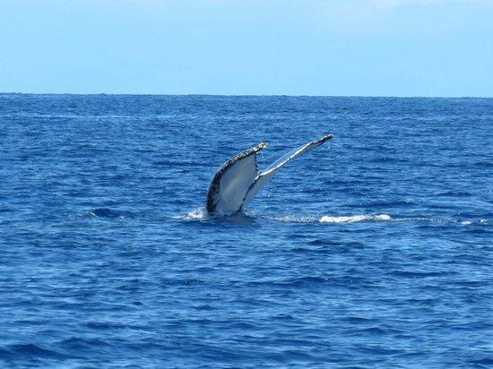 Kona Seaspray: Whale from dive boat