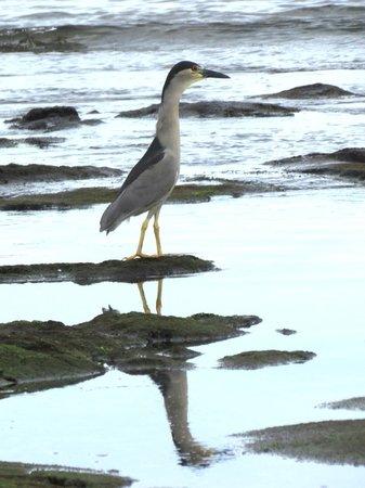 Kona Seaspray: Heron on hike