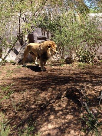 Phoenix Zoo : Lion's den
