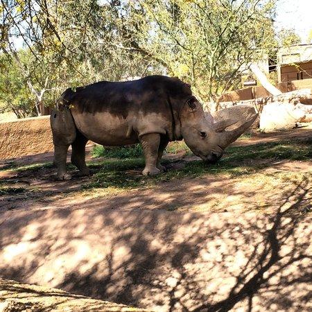 Phoenix Zoo : White Rhino