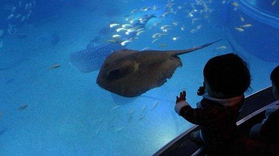 Osaka Aquarium Kaiyukan: エイ