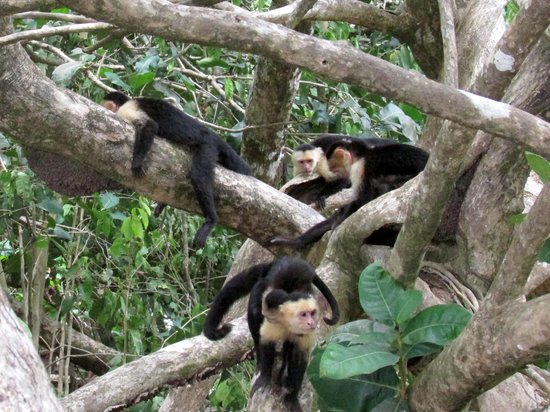 Hotel Costa Verde: monkeys at Manuel Antonio