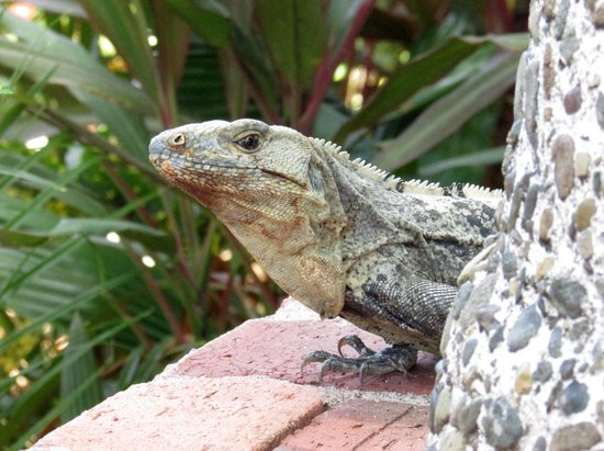 Hotel Costa Verde: friendly Iguana by the pool