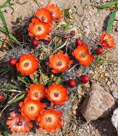 Chiricahua Desert Museum: Flowering cactus