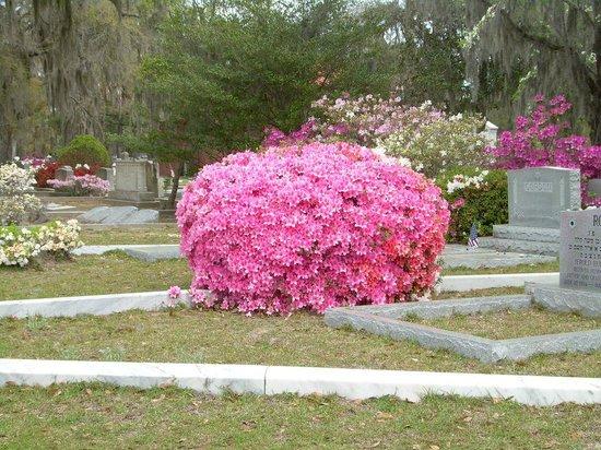 Bonaventure Cemetery: Azalea