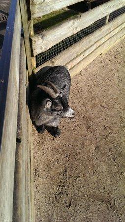 Copenhagen Zoo: Goats at the petting zoo