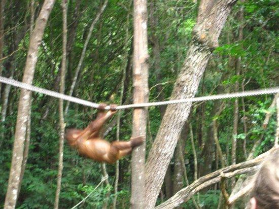 Shangri-La's Rasa Ria Resort & Spa: visiting the orangutans for breakfast