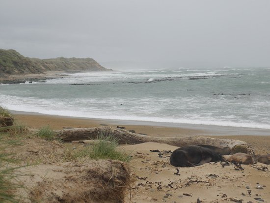 Waipapa Point Lighthouse: Sea lions sheltering on beach at Waipapa Point