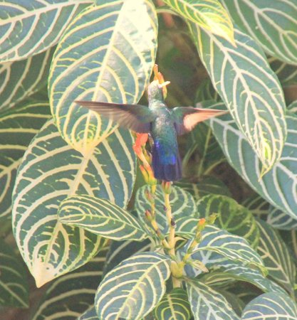 Discovery Bay by Rex Resorts : antilean humingbird