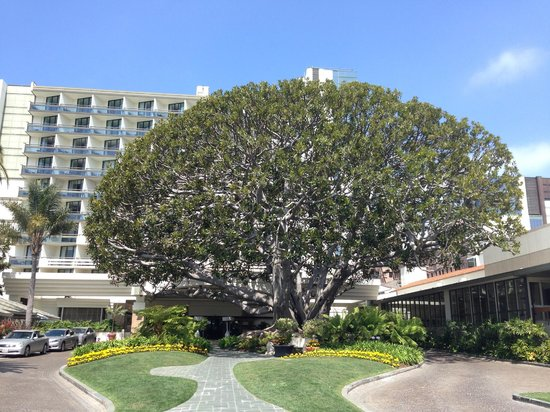 Fairmont Miramar Hotel & Bungalows: This amazing fig tree greets you upon arrival.