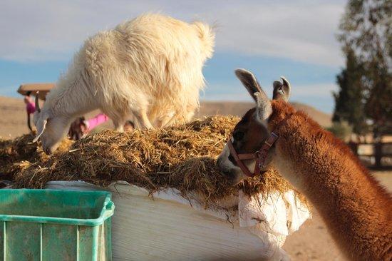 The Alpaca Farm: Self service