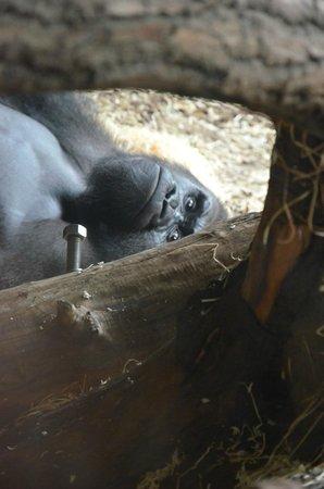Frankfurt Zoo (Zoologischer Garten Frankfurt/Main) : Gorilla