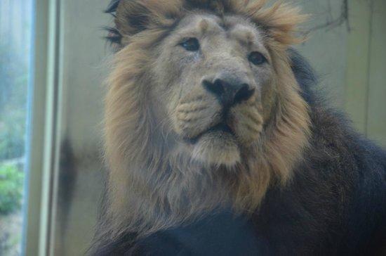 Frankfurt Zoo (Zoologischer Garten Frankfurt/Main): leone