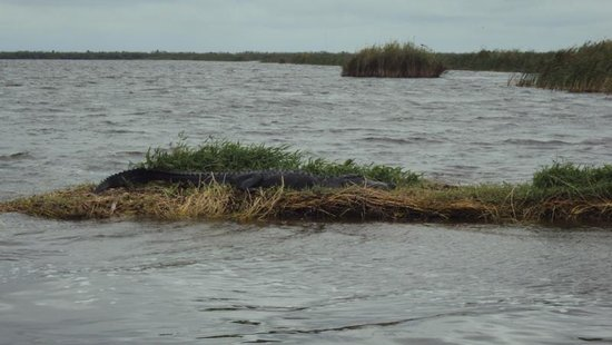 Airboat Wilderness Rides: One of Many Alligators