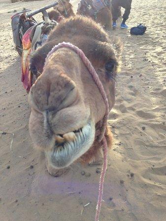 Merzouga Online - Camel Trekking - Day Tours: dromedario