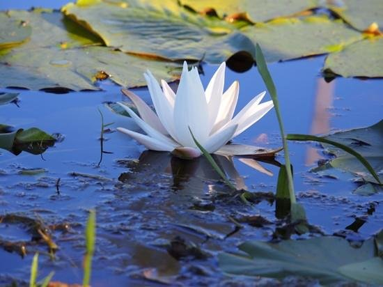 Okefenokee National Wildlife Refuge: Best place I've ever gone to see a water lilly.