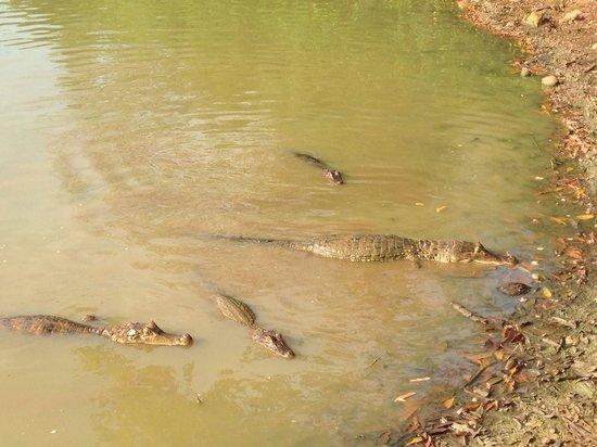 Laguna Big Pond: Yacarés, impresionante tenerlos tan cerca