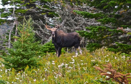 Skyline Trail : Moose