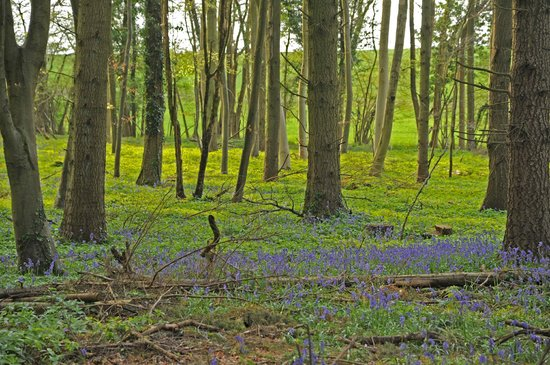 Kingley Vale: Bluebells in summer