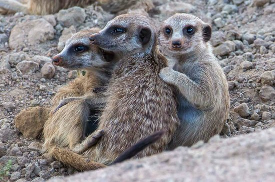 Tswalu Kalahari Reserve: Little Meerkat colony close to the main homestead
