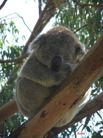 Phillip Island Nature Parks - Koala Conservation Centre: Hi !!