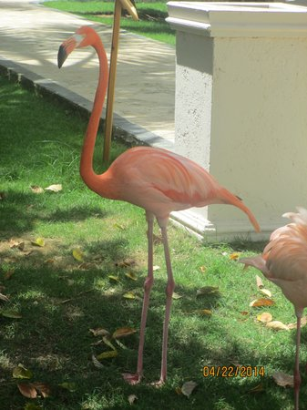 Dreams Punta Cana Resort & Spa : Flamingo
