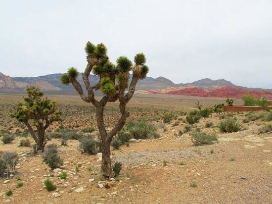 Red Rock Canyon National Conservation Area: Joshua trees overlooking Red Rock Canyon