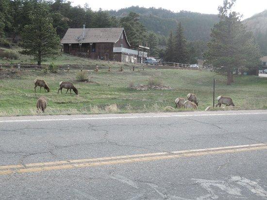 Murphy's River Lodge: Elk having dinner across the street from motel