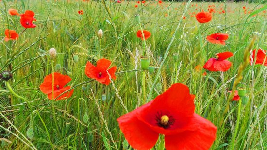 Manoir de la Malartrie : Poppies in Dordogne