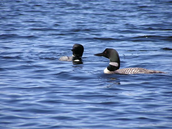 Voyageur North Outfitters: Loons on the Lake