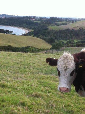 Shakespear Regional Park: A pensive heifer.