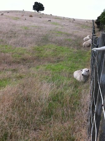 Shakespear Regional Park: Sheep nestled against the fence