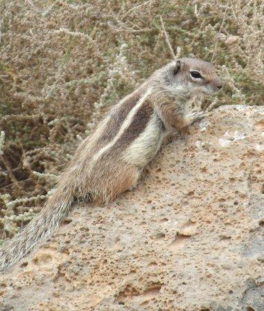 Barcelo Fuerteventura Thalasso Spa : Nearby chipmunks