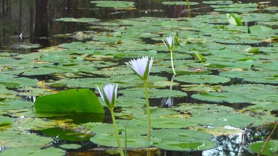 Hunter Hideaway Cottages: Local water lily action
