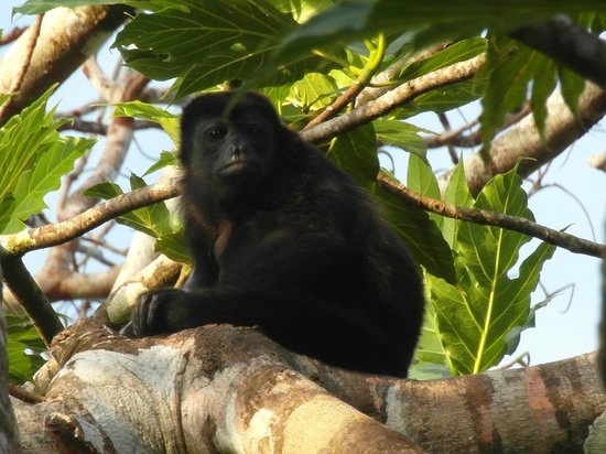 Tortuga Lodge & Gardens: Wildlife - Mantled Howler Monkey