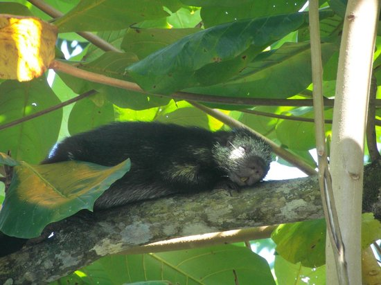 Tortuga Lodge & Gardens: Wildlife - Mexican Hairy Porcupine